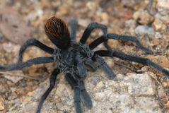 tarantula Стоковые Фото