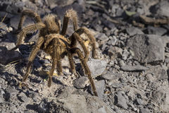 Tarantula. Desert blond tarantula walks through my camp site Royalty Free Stock Image