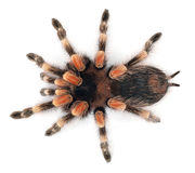 Tarantula Stock Photography