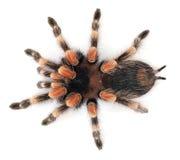 Tarantula Fotografia de Stock