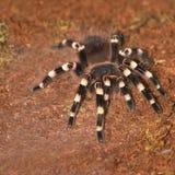 Tarantula obrazy stock