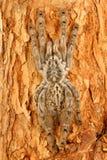 индийский орнаментальный tarantula Стоковые Изображения