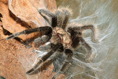 Tarantula. Bird spider with web close-up shot Royalty Free Stock Photo