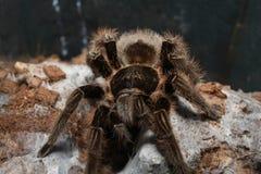 tarantula Stockfoto