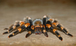 tarantula Στοκ Εικόνα