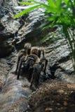 tarantula obrazy royalty free