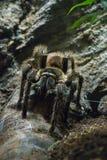 tarantula Lizenzfreie Stockfotografie