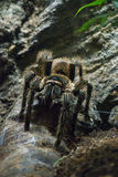 tarantula Royalty-vrije Stock Fotografie