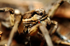 Tarantula Royalty Free Stock Image