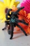 tarantula Στοκ Φωτογραφία
