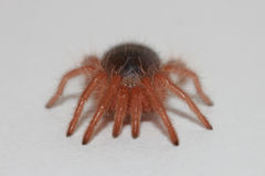 tarantula Photos stock