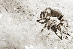 Tarantula Fotos de Stock Royalty Free