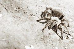 Tarantula Fotografie Stock Libere da Diritti