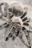 Tarantula Fotografie Stock