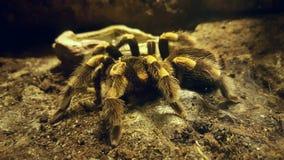 tarantula Стоковое Изображение RF