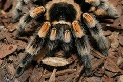 tarantula Стоковые Изображения RF