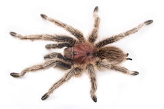 tarantula Fotografia Royalty Free
