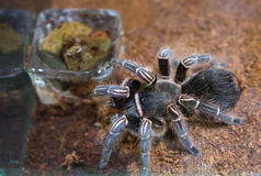 tarantula Imagenes de archivo