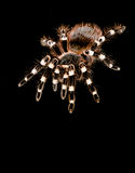 tarantula Fotografia de Stock Royalty Free