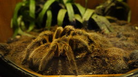 tarantula Стоковая Фотография