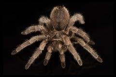 tarantula royalty-vrije stock afbeelding