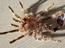 Tarantula Achterhuid op Vloer stock foto's