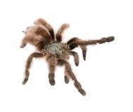 Tarantula against white background Royalty Free Stock Photography