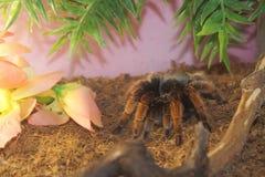 tarantula aphonopelma seemanni royalty free stock image