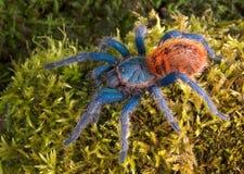 Tarantula auf Moos lizenzfreie stockfotos