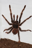 Tarantula Stock Photo
