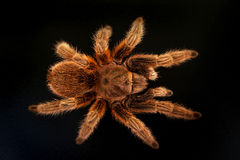Tarantula on black. Astudio shot of a Tarantula on a black background Royalty Free Stock Photography
