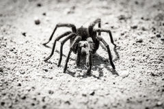 Tarantula in black and white. Stock Photography