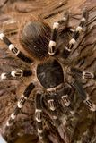 Tarantula blanc brésilien de genou Photo libre de droits