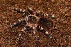 Tarantula blanc brésilien de piste Photographie stock