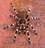 Tarantula blanco brasileño de la raya Foto de archivo