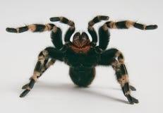 Tarantula brésilien de whiteknee dans le positio de attaque Images stock