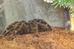 tarantula brachypelma albopilosum stock photos