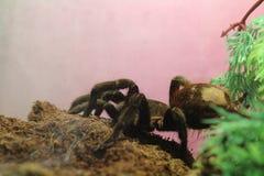 tarantula brachypelma albopilosum stock images