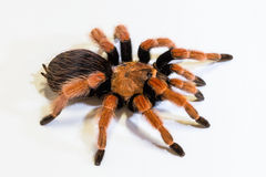 Mexican Fireleg or Rustleg Tarantula Royalty Free Stock Photos