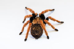 Rear View Mexican Fireleg Tarantula Royalty Free Stock Images