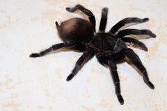 Tarantula, Brachypelma vagans hibrid Royalty Free Stock Photography