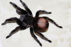 Tarantula, Brachypelma vagans hibrid Royalty Free Stock Photos