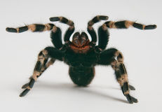 Tarantula brasileño del whiteknee en positio que ataca Imagenes de archivo