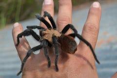 Tarantula. Brown texas tarantula on my hand Royalty Free Stock Image