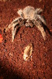 Tarantula and a bug Stock Photo