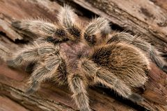 Tarantula chileno de Rosa Imagem de Stock