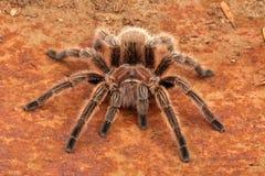 Tarantula chilien de cheveu de Rose Photographie stock