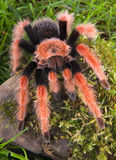 Tarantula climbing mossy rock Royalty Free Stock Images