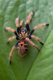 Tarantula climbing up leaf Stock Photography