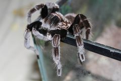 Tarantula climbs out of the terrarium. Stock Images